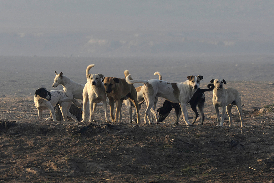 Stray dogs near Jahangir tomb in Lahore. PHOTO: MEHMOOD QURESHI/EXPRESS